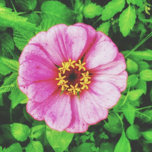 🌼🌿🌼🌿🌼 Flower цветок  цинния