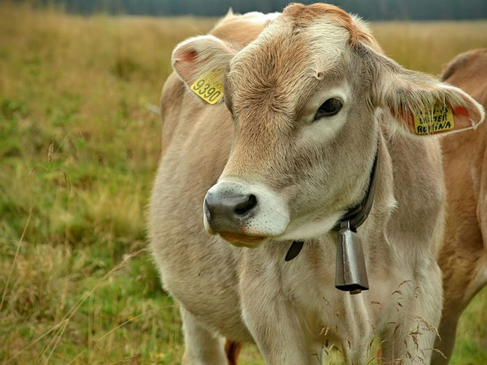 Grazing heifer in Trentino, Italy Heifer Cows Cow Grazing Cows Grazing Trentino  Trentino Alto Adige Nature_collection Farm Animals Animals