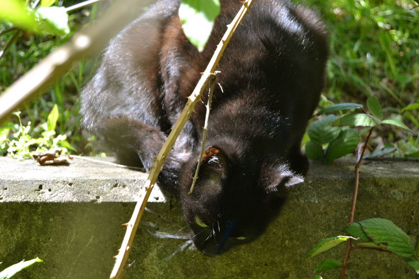 Animal Themes Black Cat Black Cat Photography Black Cats Are Beautiful Black Color Cat On The Hunt Close-up Day Dog Domestic Animals Grass Hunting Leaf Mammal Nature Nature_collection No People One Animal Outdoors Outdoors Photograpghy  Pets Plant