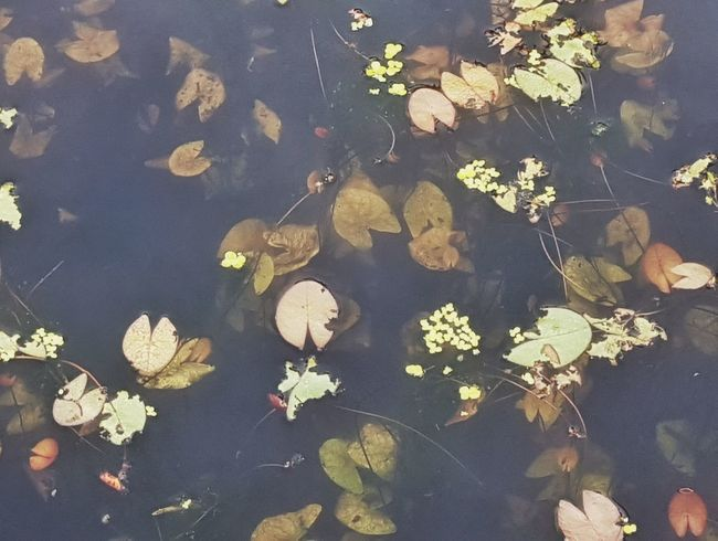 | Orto botanico | Orto Botanico Padova Autumn Leaves Puddle EyeEm Italy Water Leaf Floating On Water High Angle View Close-up Floating In Water Underwater Standing Water