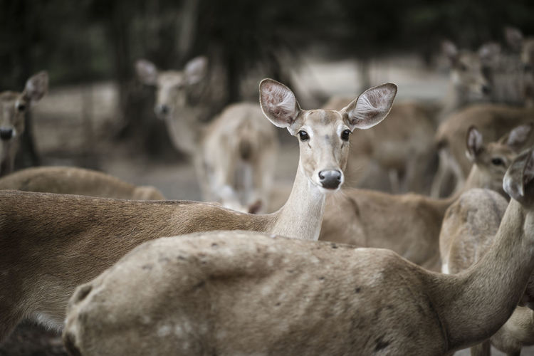Animal Themes Animal Mammal Group Of Animals Animal Wildlife Animals In The Wild Vertebrate Domestic Animals Portrait No People Focus On Foreground Looking At Camera Day Nature Herbivorous Deer Land Field Livestock Herd Animal Head