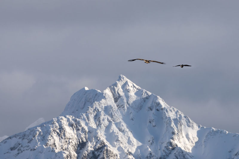 Two majestic sea eagles flying away towards majestic snowcapped mountain peak Knickowski Eagle - Bird Sea-eagle Mid-air High Section Full Length Moody Sky Overcast Rough Extreme Terrain Arctic Two Animals Majestic Young Bird Bird Animal Wildlife Vertebrate Animal Themes Animals In The Wild Animal Flying Cold Temperature Winter Snow Beauty In Nature Mountain Scenics - Nature Sky Nature Day Spread Wings No People Mountain Range Snowcapped Mountain Outdoors Formation Mountain Peak