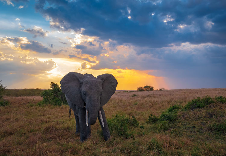 An elephant walked slowly on the savanna Sky Cloud - Sky Sunset Field Landscape Land Mammal Environment Nature No People Tranquil Scene Grass Animal Tranquility Plant Beauty In Nature Scenics - Nature Non-urban Scene Animal Themes Horizon Over Land Herbivorous