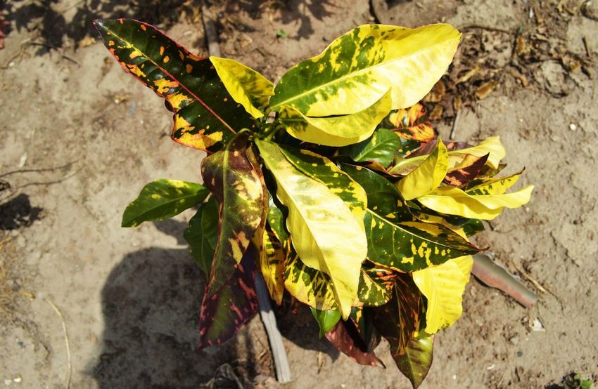 Plant Yellow And Green Close-up Coffeeplant Day High Angle View Leaf Nature No People Outdoors Plant