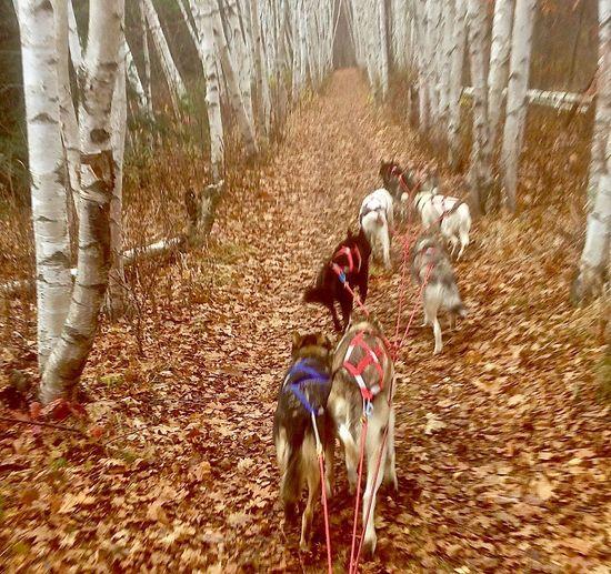 Fall Training in New Hampshire Animal Themes Birch Day Dog Domestic Animals Fall Training Mammal Motion Mushing, Dog Sled, Alaskans, Siberian Nature Outdoors Pets Sleddogs Tree