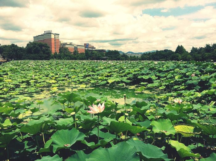 Here, it's full of lotus