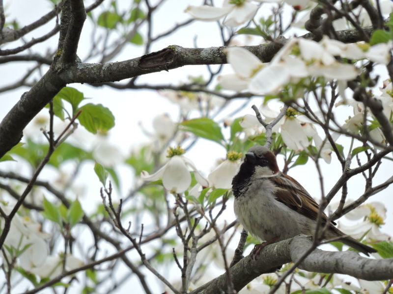 Animal Themes Animal Wildlife Animals In The Wild Beauty In Nature Bird Branch Close-up Day Dogwood Blossom Focus On Foreground Low Angle View Nature No People One Animal Outdoors Perching Sparrow Bird Tree