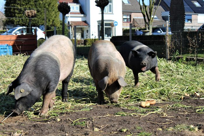 D'r Moostuin, Berg En Terblijt, The Netherlands Event Family Farmland Love Nature Pig Nose Pig Face Pigs Pigs♥ See What I See Walking Around Taking Pictures Beauty In Nature Biologic Food Community Garden Community Project Day Garden Garden Photography Nature Outdoors People Pig Pig Family Pig Tails