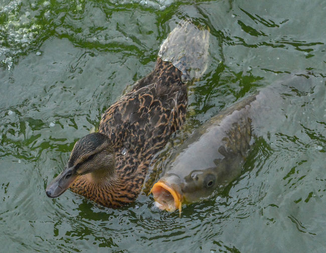High angle view of mallard duck swimming in lake