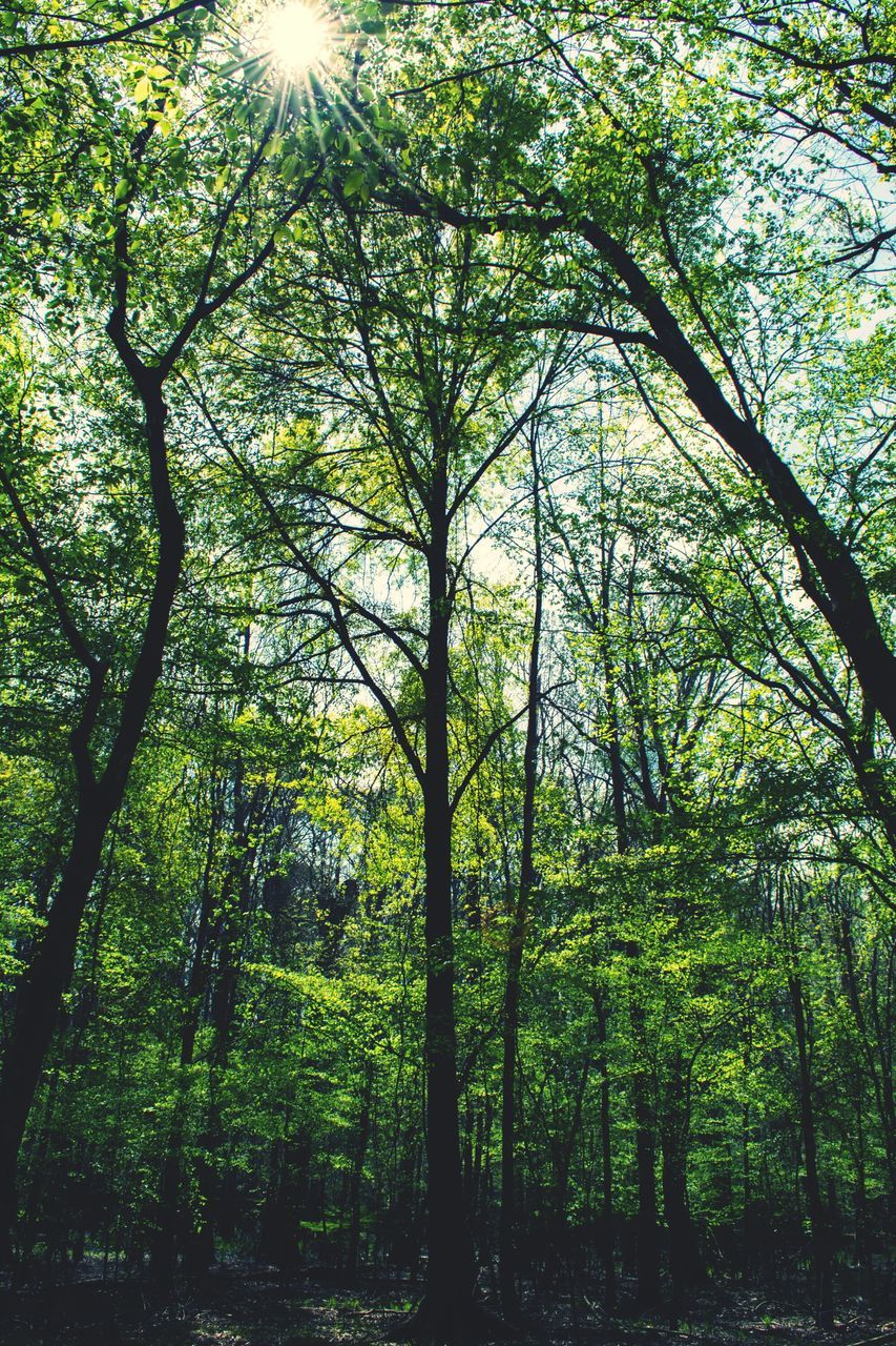 tree, forest, nature, growth, beauty in nature, day, no people, outdoors, tranquility, green color, tree trunk, sunlight, low angle view, branch, scenics