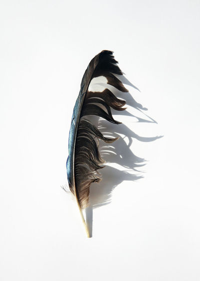 A discarded beautiful feather in the sunshine on a white background. 1 Animal Themes Avian Avian Flu Beauty Bird Blue Brown Discarded Feather  Flight Flying Movement Muted Colors Nature No People One One Animal Playful Remains Scruffy Shadow Single