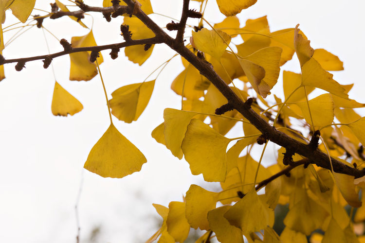 Low angle view of yellow leaves against sky
