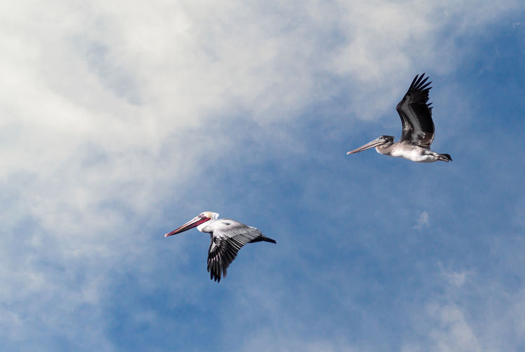 Pair of pelicans flying against a cloudy blue sky with copy space.