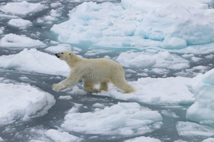 Polar bear walking on frozen sea