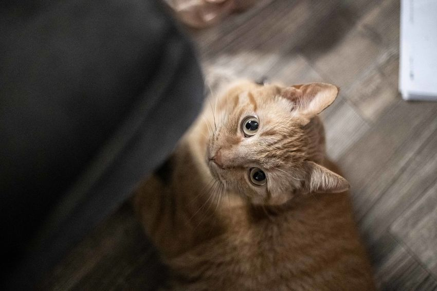 Mammal Pets Domestic Domestic Animals Cat Feline Home Interior Whisker Tabby High Angle View Looking At Camera