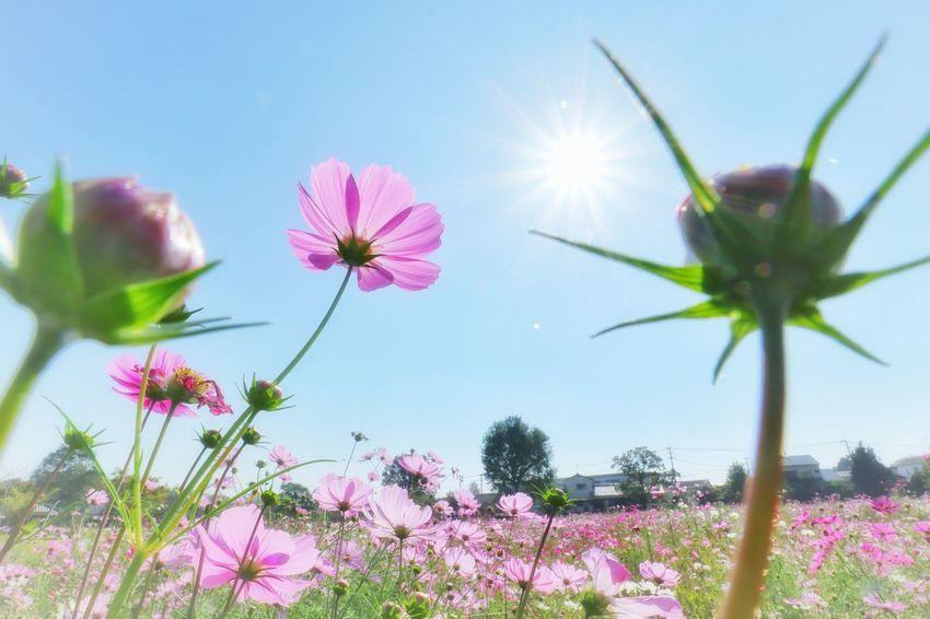 """""""Alexa ❗""""アレクサ乗せてドライブ🎶🚗💨🎶 思い付く曲、言うだけで何でもかけてくれる😀 買って、セットして聴くんじゃなくて、聴きたいと言ったらかけてくれる… 夢のよう。夢の世界にも連れて行かれそう 花 はな はなマップ Japan Photography コスモス 自然 EyeEm Best Shots Nature Nature_collection Sunlight 公園 Japan EyeEmNewHere 空 Amazon Alexa Echo Flower Dot EyeEm Flower Head Flower Cosmos Flower Clear Sky Springtime Petal Uncultivated Pink Color Summer Blossom"""