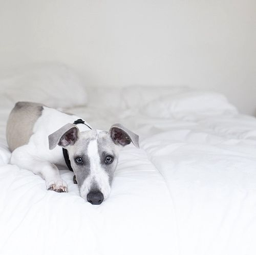A little someone wouldn't get out of bed this morning. Whippet Puppy Dog Hanging Out Sleepyhead