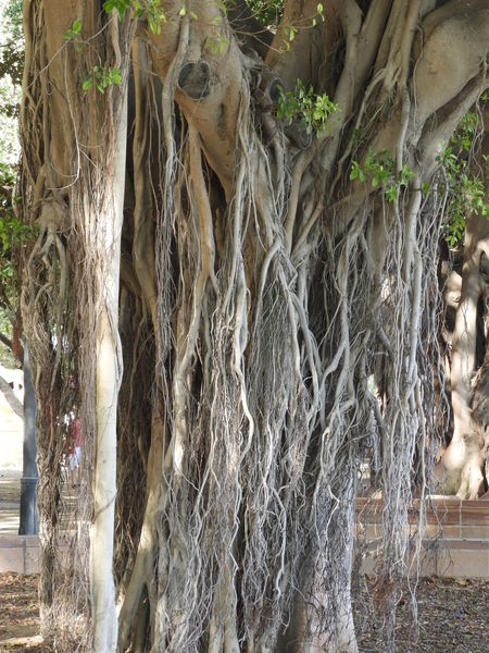 J.J.D.R Beauty In Nature Day Ficus Nature No People Raíces Tree Trunk