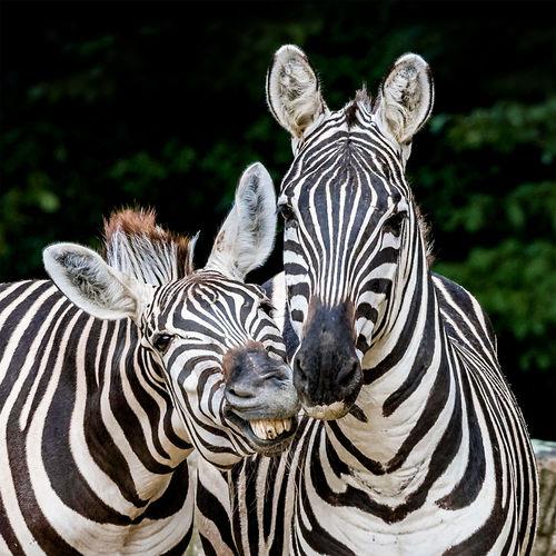 Animal Themes No People Striped Two Animals Zebra Zebra Kissing Zebras Zoology