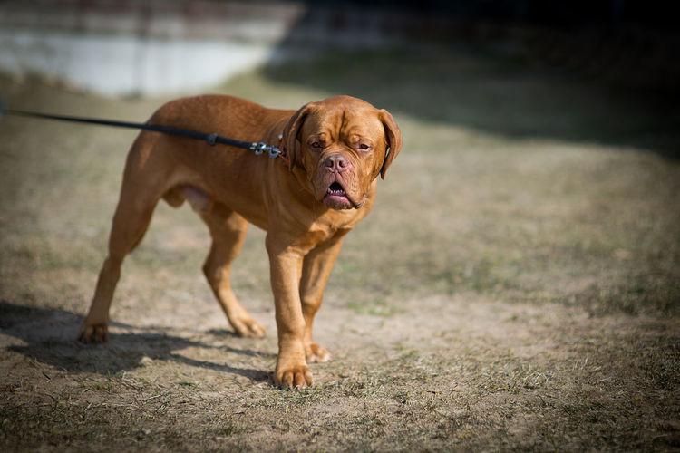 French mastiff walking outdoors
