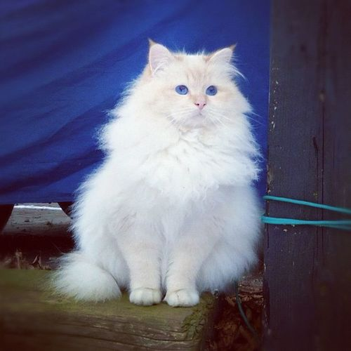 Basse ❤ Sacredbirman Birman  Redpoint Red tabby sbi d21 love cat blueeyes whitecat kitten kittenlove