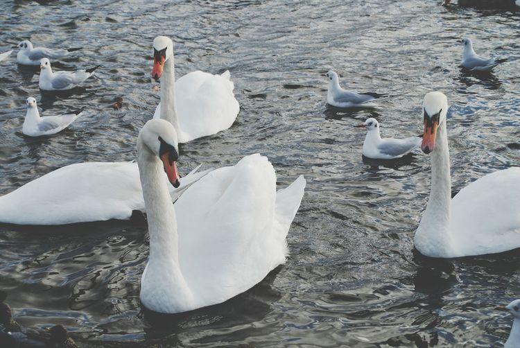 White Album Españoles Y Sus Fotos San Lorenzo De El Escorial Connected With Nature EyeEm Nature Lover Naturephotography Cisnes Swans White Swans
