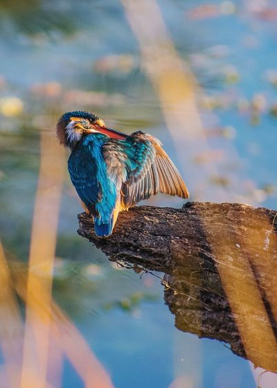 Kingfisher perching on wood