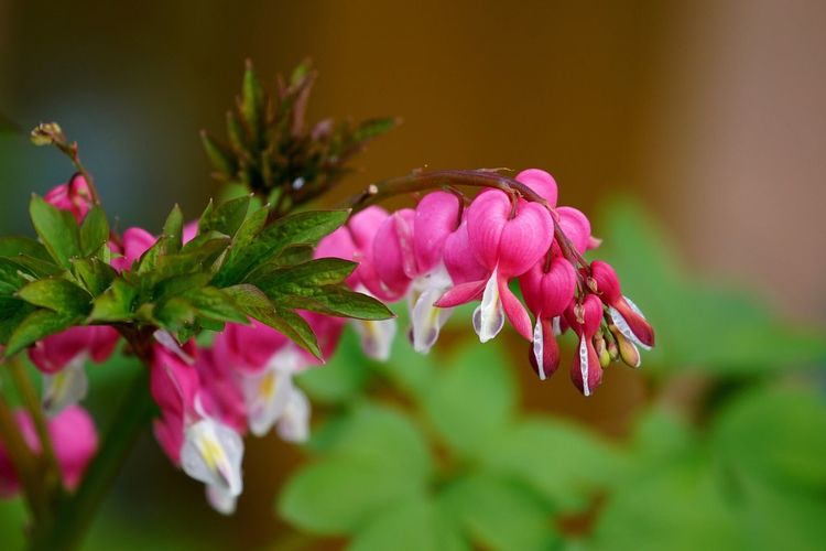 Flower Growth Nature Pink Color Petal Fragility Beauty In Nature Plant No People Close-up Flower Head Leaf Focus On Foreground Freshness Blooming Day Outdoors Tadaa Community OpenEdit Tränendes Herz Bleeding Heart