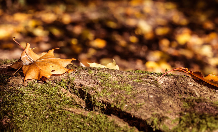 An autumn leaf on a split tree trunk at Batsford Arboretum Autumn Collection Autumn Colors Autumn Leaves Fall Beauty Fall Colors Fall Collection Orange Split Autumn Autumnal Autumnal Colours Autumn🍁🍁🍁 Beauty In Nature Close-up Fall Leaf Leaf Vein Leaves Maple Nature Tree Stump