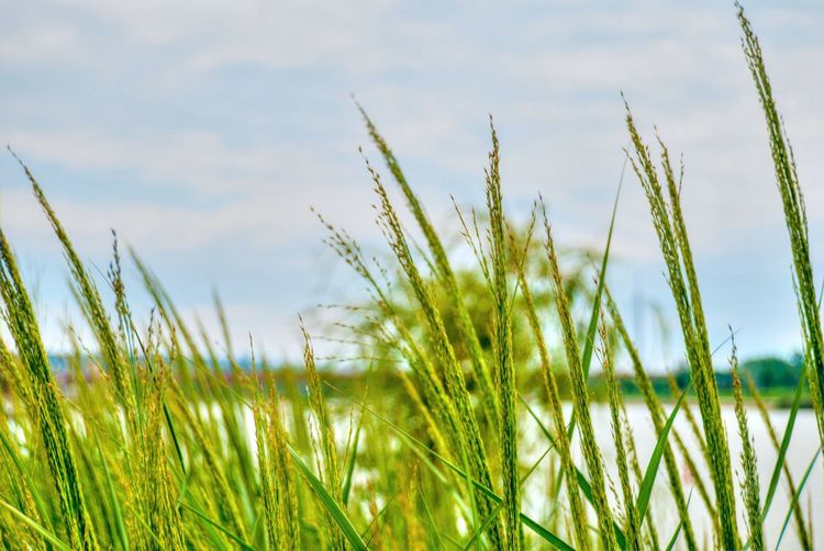Rural Scene Cereal Plant Agriculture Flower Summer Field Uncultivated Meadow Sky Close-up Timothy Grass Reed - Grass Family Irrigation Equipment Ear Of Wheat Cultivated Land Barley Blade Of Grass Oilseed Rape Combine Harvester Patchwork Landscape Agricultural Field Wheat