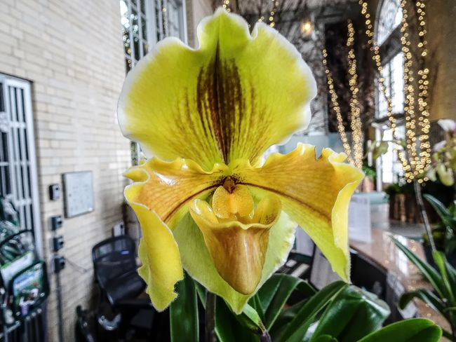 yellow orchid Orchid Architecture Beauty In Nature Blooming Building Exterior Built Structure Close-up Day Exotic Flowers Flower Flower Head Focus On Foreground Fragility Freshness Growth Nature No People Outdoors Paphiopedilum Petal Plant Rare Orchid Yellow Yellow Orchid