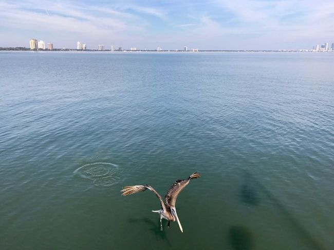 Water Sky Nature Sea Waterfront No People Outdoors Animal Themes Bird Beauty In Nature Animals In The Wild Day Spread Wings Flying Horizon Over Water Tampa Animals Of Eyeem Animals Hunting Birds In Flight Birds_collection Birds In The Water