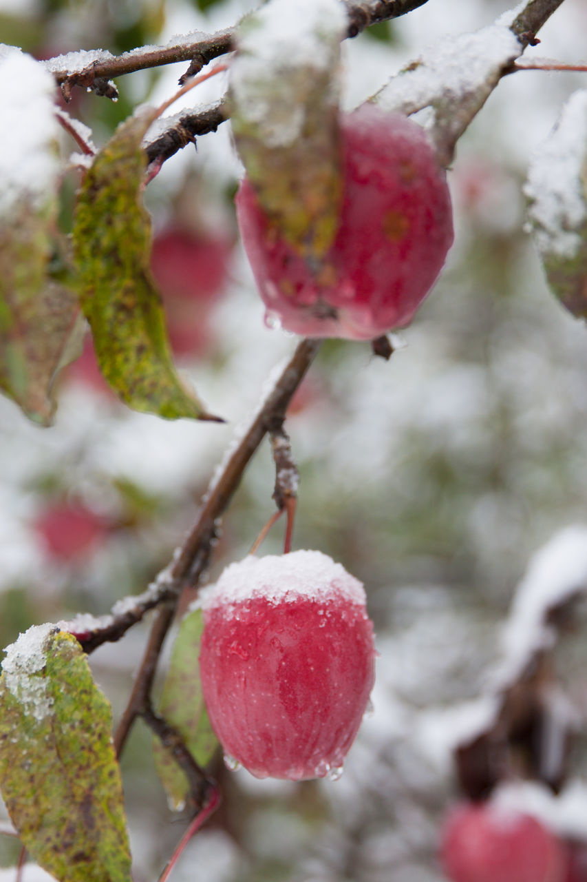 fruit, red, growth, food and drink, tree, nature, focus on foreground, berry fruit, close-up, freshness, outdoors, beauty in nature, day, cold temperature, food, branch, healthy eating, rose hip, winter, no people, growing, snow, ripe, twig, rowanberry, wild rose, hanging