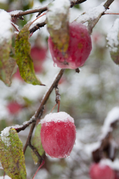 Red apples on the tree covered with fresh snow Apple Autumn Colors Autumn Leaves Beauty In Nature Close-up Country Dark Day Freshness Harvest Nature Nature Beauty Nature_collection No People Outdoors Red Apple Rural Snow Apple Snow Covered Snow Covered Branch Snowflake Snowstorm Snowstorm2016 Sudden Sunnden Snow