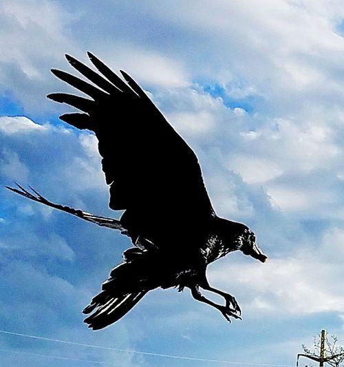 EyeEm Birds Raven Flying EyeEm Best Shots Mid-air Good Catch  Afternoon Sun Spread Wings Hello World ✌ Colorado Springs CO USA EyeEm Flight EyeEm Animal Lover
