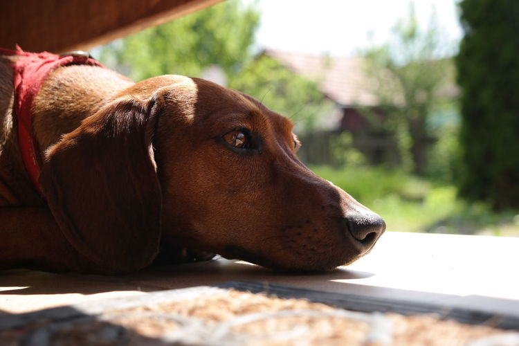 Animal Animal Head  Animal Themes Brown Curiosity Dachshund Dachshunds Daydreaming Dog Domestic Animals Doxie Dreaming Eyes Eyes Are Soul Reflection Melancholic Melancholy One Animal Pet Pets Portrait Puppy Thinking Thinking About Life Thoughtful Thoughts