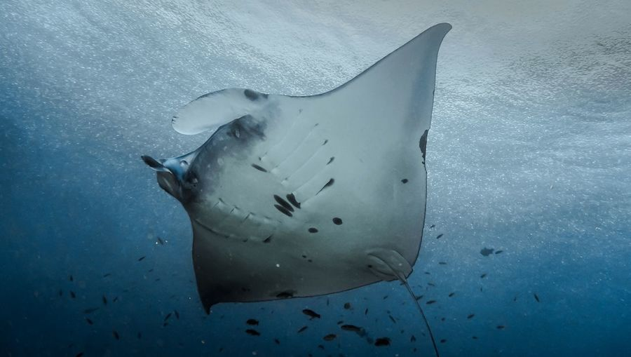 Manta Manta Manta Ray underwater photography EyeEm Selects Sea Ocean Scuba Diving Scuba Diver Dive Uwphotography Underwater UnderSea UnderSea Humpback Whale Sea Life Scuba Diving Whale Swimming Whale Shark Sea Underwater Water Stingray Underwater Diving