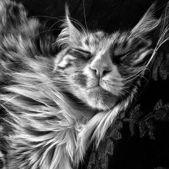 Domestic Cat Gatto Micio Gattorosso Felino Animal Themes One Animal Pets Maine Coon Cat Nature Love Cat My Cat Simba Cat Of The Day Maincoon Kitten Blackandwhite