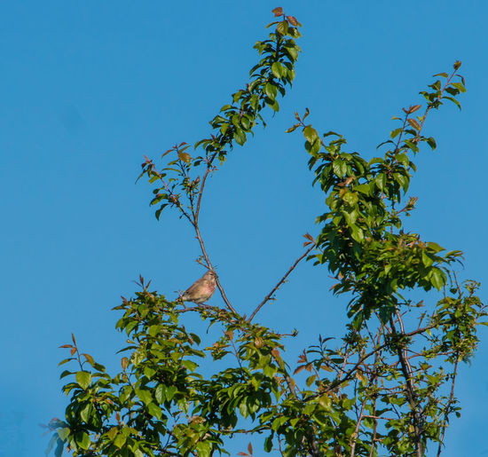 Linnet in tree
