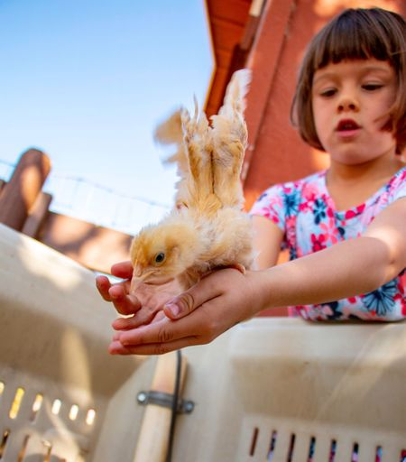 Chick Baby Chicken Childhood Child Real People One Person Girls Mammal Vertebrate Lifestyles Focus On Foreground Holding One Animal Innocence