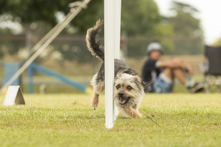 Portrait Of A Dog Walking On Grassland