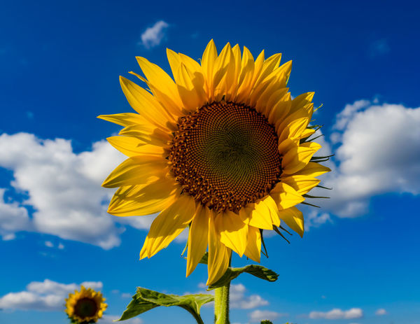 Sky Blue And Clouds Yellow Flower Flower Sky Sunflower Cloud - Sky Fragility Flower Head Yellow Blue Beauty In Nature Outdoors Summer Nature