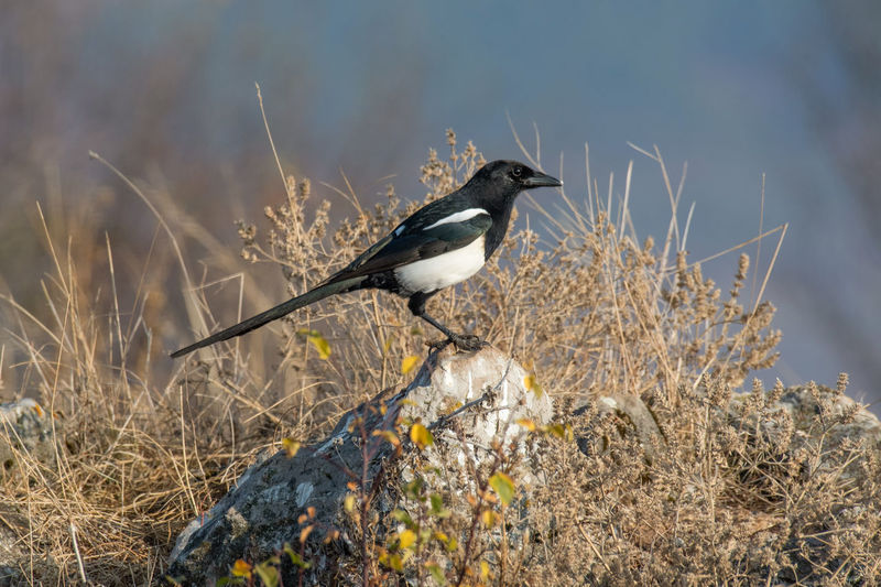 Eurasian magpie (pica pica) Nature and wild bird image Eurasian Magpie Pica Pica Animal Wildlife Animals In The Wild Animal Themes Animal Bird Vertebrate One Animal Perching Plant No People Day Nature Land Outdoors Focus On Foreground Side View Sunlight Black Color Field Dry