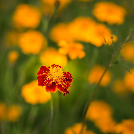 One red flower Beauty In Nature Blooming Close-up Day Flower Flower Head Focus On Foreground Fragility Freshness Growth Nature No People One Red Flower Orange Color Outdoors Petal Plant Yellow Zinnia