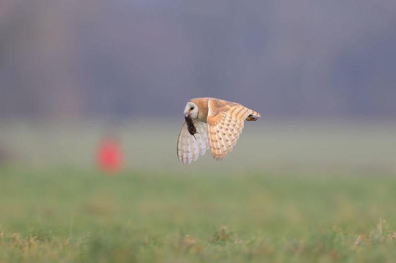 A barn owl with a vole