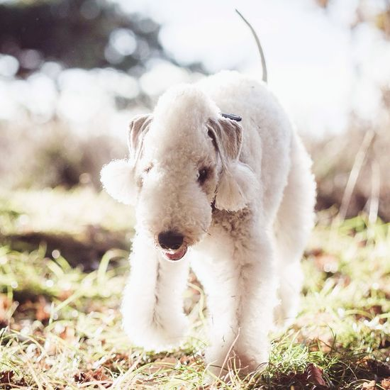 My Bedlingtonterrier Adie. Bedlington Terrier Dog