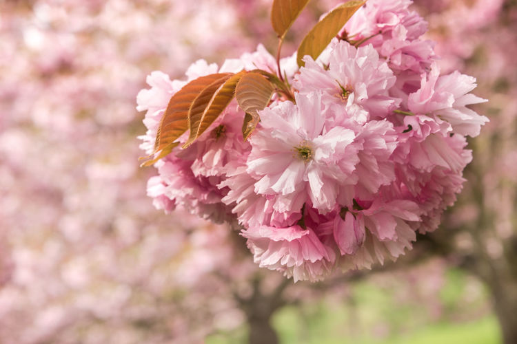 Close up of pink Sakura flowers - cherry blossoms in spring Flower Plant Freshness Beauty In Nature Growth Outdoors Pink Color Springtime Spring Sakura Cherry Blossoms Cherry Tree Branch Prunus Serrulata Japanese  Floral Backgrounds Copyspace New York Renewal  EyeEmNewHere