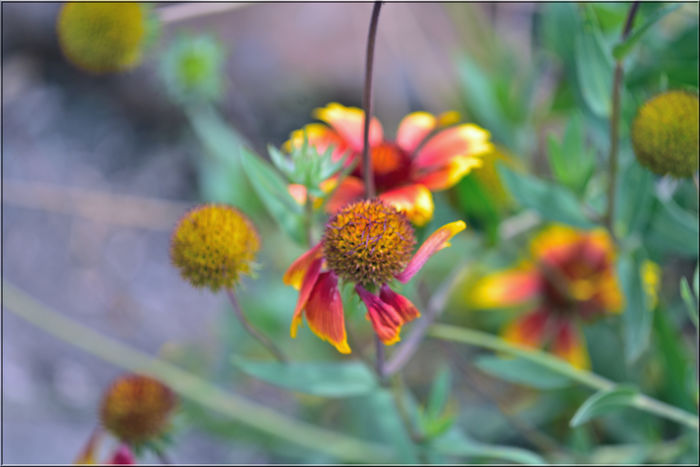 Late Summer At Merritt Gardens 5 Oakland, Ca. The Gardens At Lake Merritt Lakeside Park Garden _collection Garden_Photography Flowers Indian Blanket Gaillardia Pulchella Asteraceae Late Summer -early Fall Blooms Flower_Collection Flower Head Horticulture Nature Beauty In Nature Nature_collection Freshness Petals Botanical Garden
