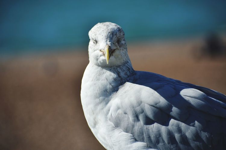 Seagull Bird Winter Sea Portrait Closing Feather  Sea Life Blue Close-up Sea Bird