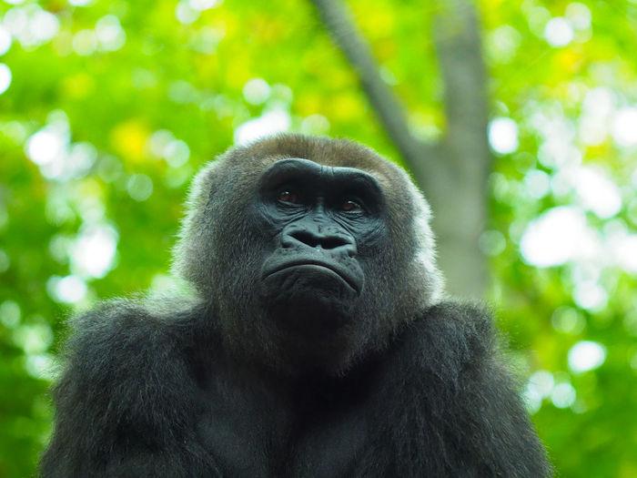 Close-up portrait of gorilla outdoors